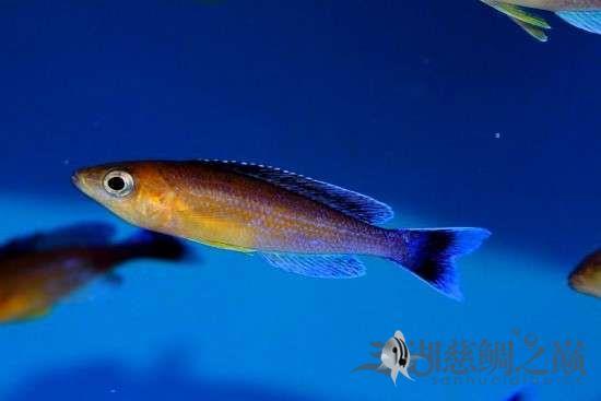三湖慈鲷剑沙的魔力 西安龙鱼论坛 西安博特第6张