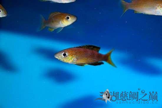 三湖慈鲷剑沙的魔力 西安龙鱼论坛 西安博特第8张