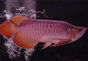 三湖慈鲷剑沙的魔力 西安龙鱼论坛 西安博特第10张