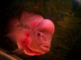 请问大家这是什么罗汉鱼? 西安观赏鱼信息 西安博特第1张
