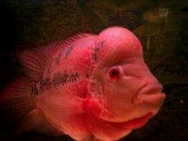请问大家这是什么罗汉鱼? 西安观赏鱼信息 西安博特第4张