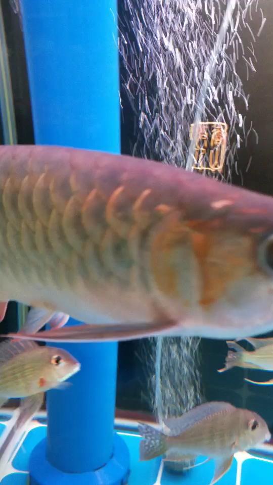 是不是开始趴背了【西安魟鱼】? 西安观赏鱼信息