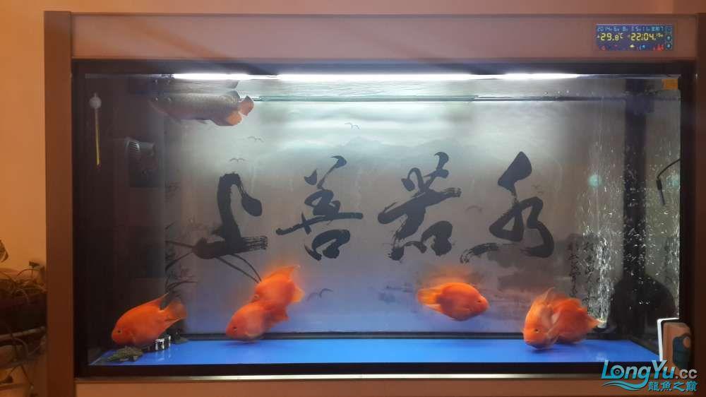 六载春秋与你同行+俺的第一条龙鱼 西安龙鱼论坛 西安博特第2张