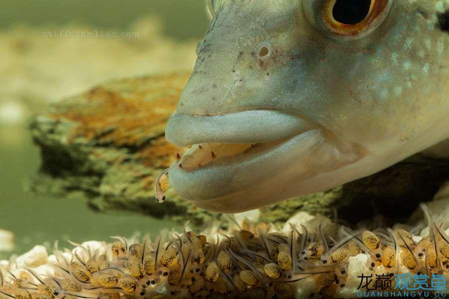 母性的伟大——口孵鱼类 西安龙鱼论坛 西安博特第1张