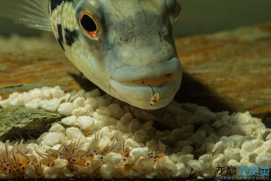 母性的伟大——口孵鱼类 西安龙鱼论坛 西安博特第2张