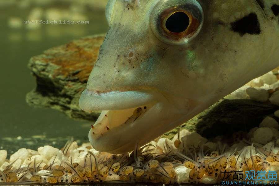 母性的伟大——口孵鱼类 西安龙鱼论坛 西安博特第3张