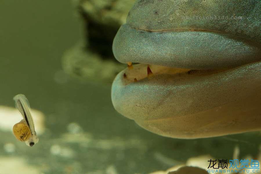 母性的伟大——口孵鱼类 西安龙鱼论坛 西安博特第4张
