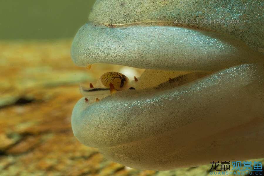 母性的伟大——口孵鱼类 西安龙鱼论坛 西安博特第6张