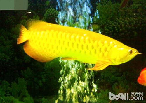 母性的伟大——口孵鱼类 西安龙鱼论坛 西安博特第9张