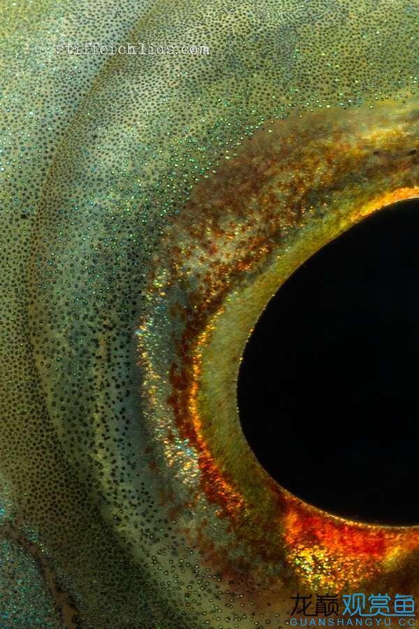 母性的伟大——口孵鱼类 西安龙鱼论坛 西安博特第13张