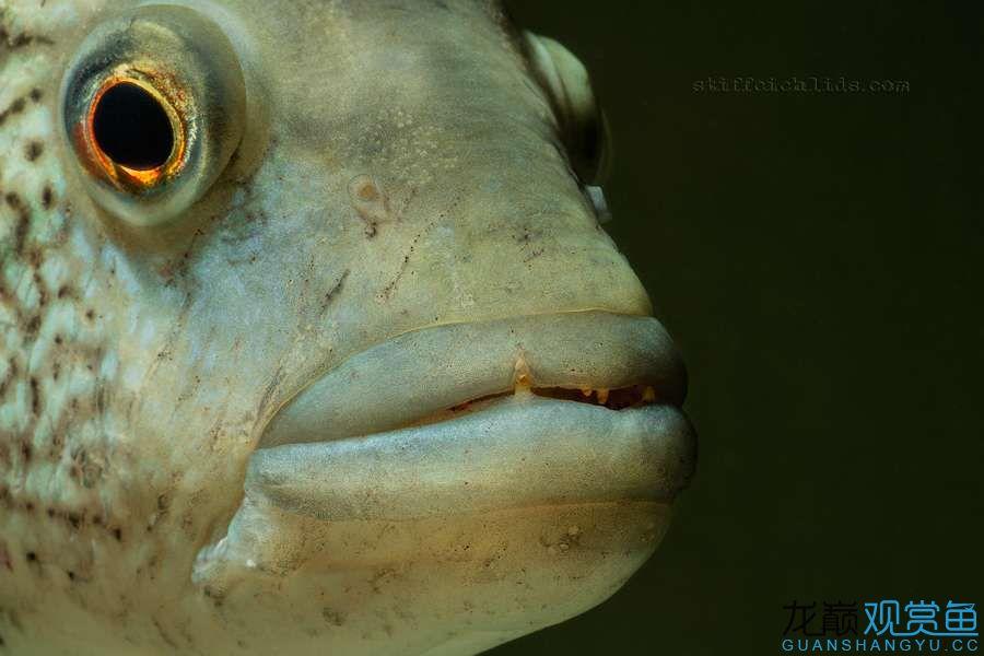 母性的伟大——口孵鱼类 西安龙鱼论坛 西安博特第14张