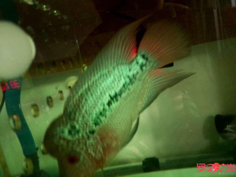 各位师兄昨天说的鱼买了请点评一下350元 西安龙鱼论坛 西安博特第1张