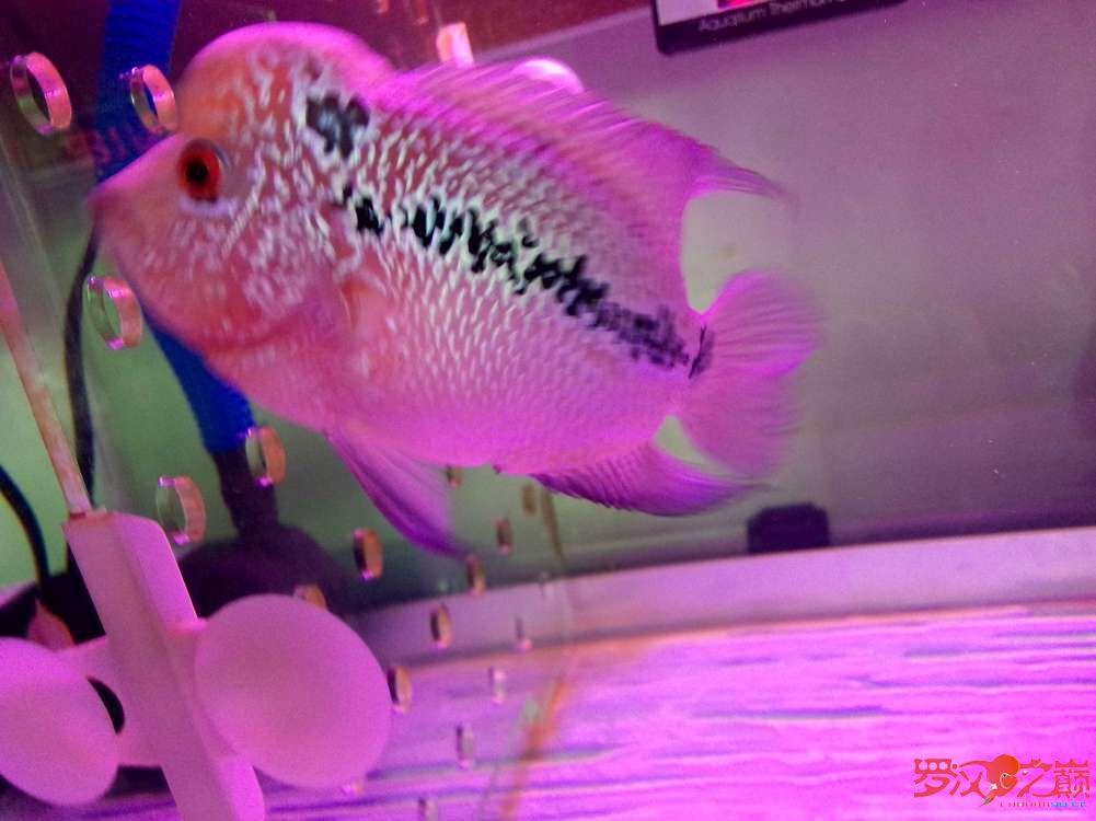各位师兄昨天说的鱼买了请点评一下350元 西安龙鱼论坛 西安博特第11张
