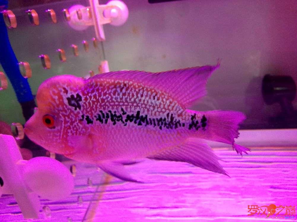 各位师兄昨天说的鱼买了请点评一下350元 西安龙鱼论坛 西安博特第12张