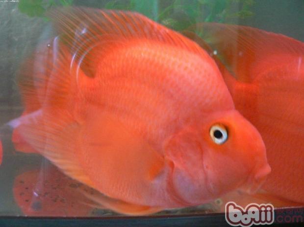 各位师兄昨天说的鱼买了请点评一下350元 西安龙鱼论坛 西安博特第13张