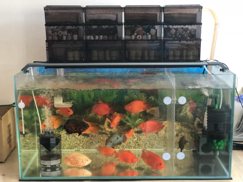 报个到鱼种混养 西安观赏鱼信息 西安博特第5张