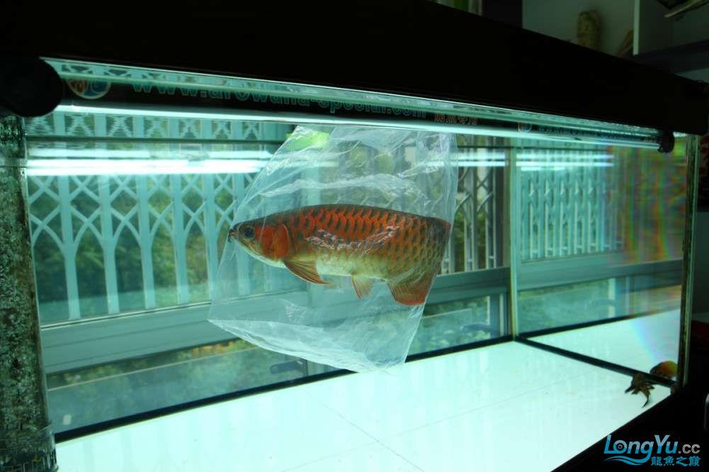 兔巴何2014年 更新下普通红外线和特殊万吉!!(4月26日 2014) 西安观赏鱼信息 西安博特第3张