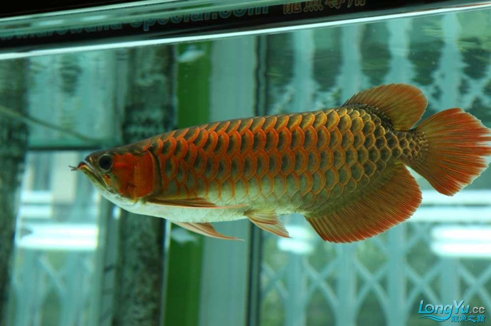 兔巴何2014年 更新下普通红外线和特殊万吉!!(4月26日 2014) 西安观赏鱼信息 西安博特第5张