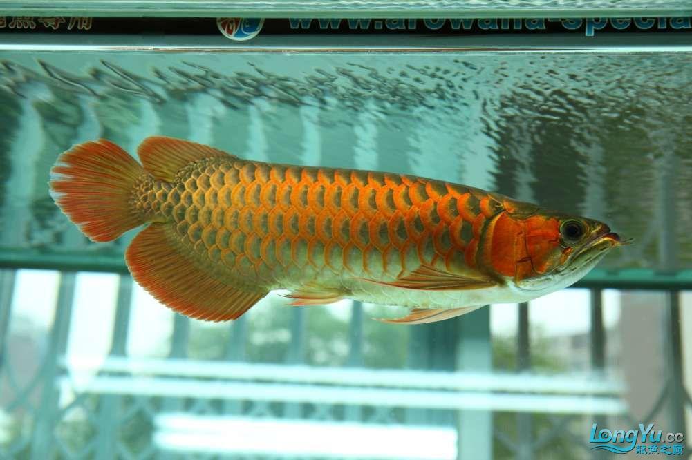 兔巴何2014年 更新下普通红外线和特殊万吉!!(4月26日 2014) 西安观赏鱼信息 西安博特第12张