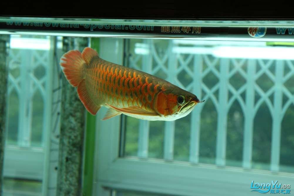 兔巴何2014年 更新下普通红外线和特殊万吉!!(4月26日 2014) 西安观赏鱼信息 西安博特第11张
