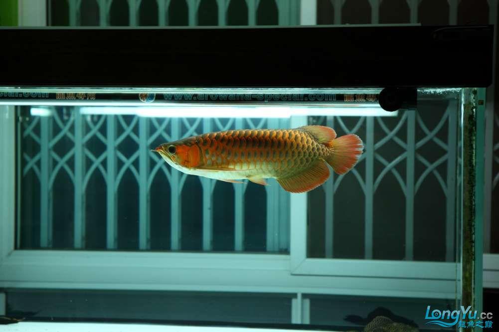 兔巴何2014年 更新下普通红外线和特殊万吉!!(4月26日 2014) 西安观赏鱼信息 西安博特第15张