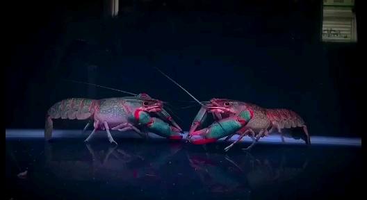 真是澳州蓝魔虾 西安龙鱼论坛 西安博特第1张