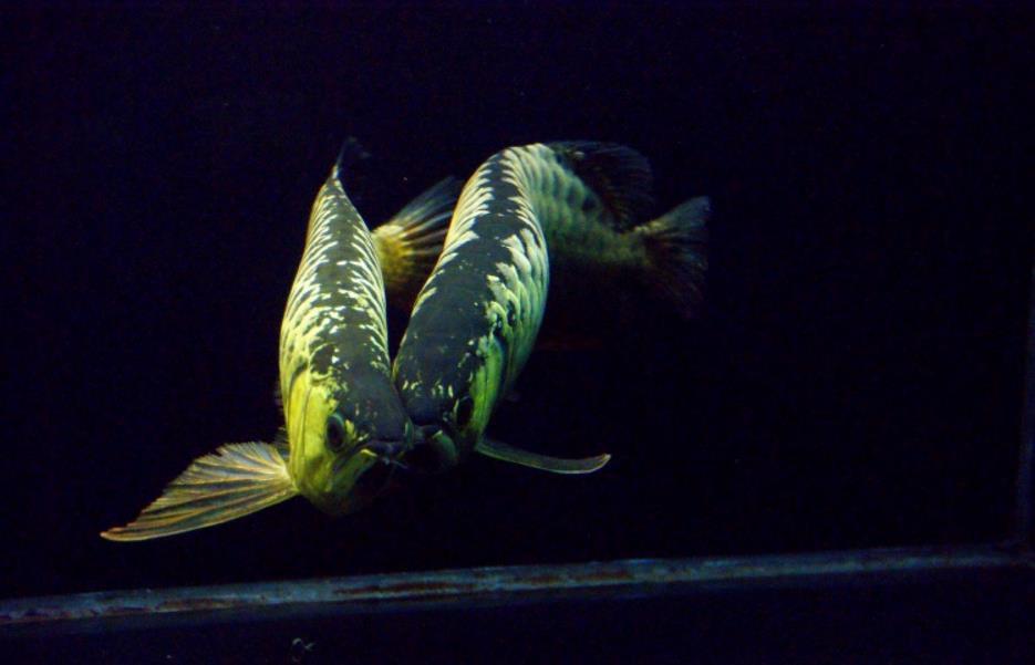 金龙鱼反垢是什么意思?反垢的原因? 西安龙鱼论坛 西安博特第2张