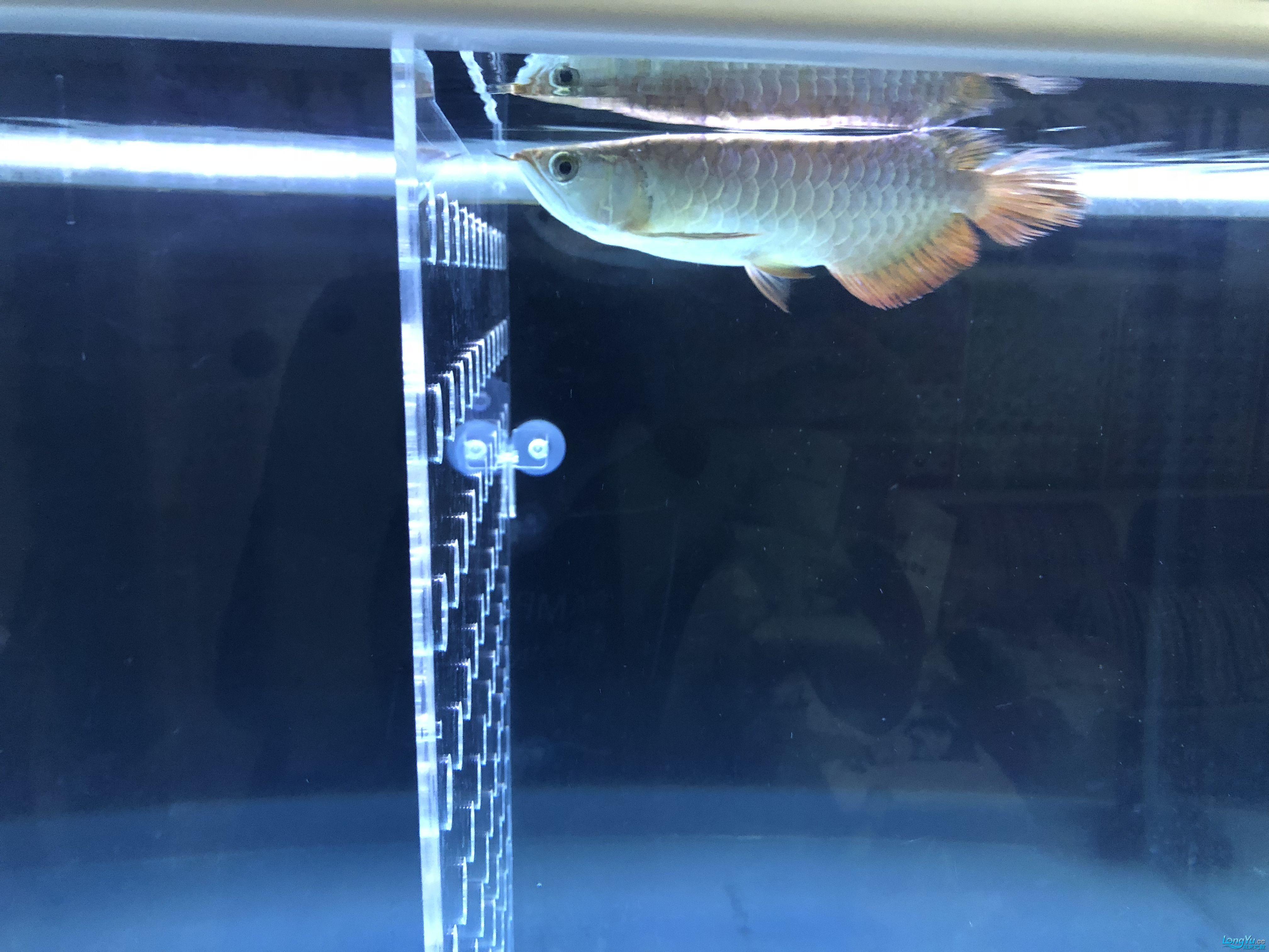 双龙混养金龙被打惨了 西安观赏鱼信息 西安博特第4张