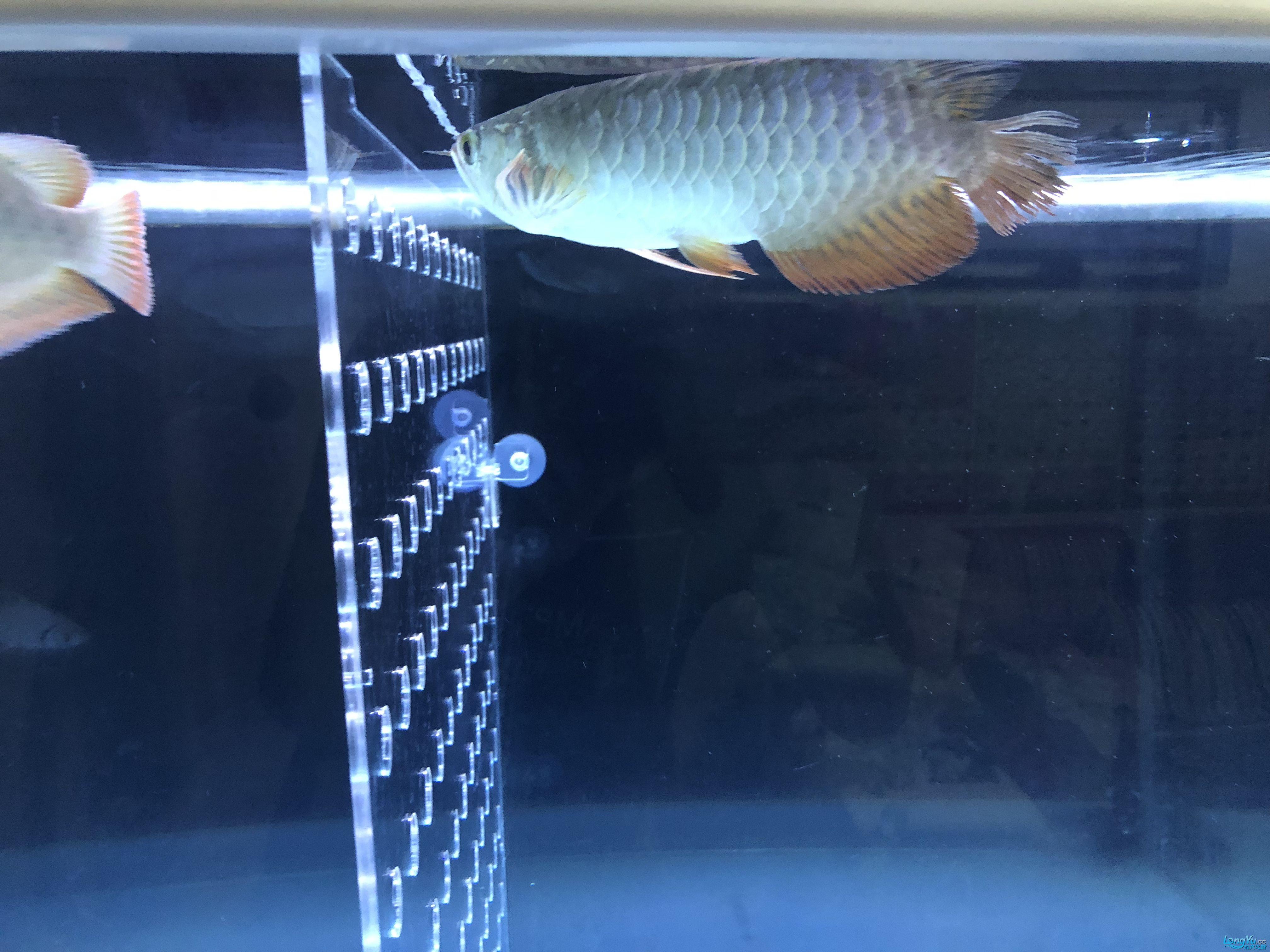 双龙混养金龙被打惨了 西安观赏鱼信息 西安博特第5张