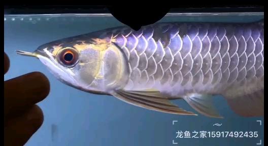 标题:电光七彩龙鱼中的蓝宝石 西安观赏鱼信息