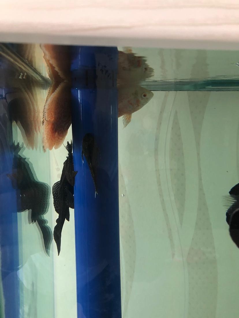 鱼这样了怎么办啊 西安龙鱼论坛 西安博特第1张