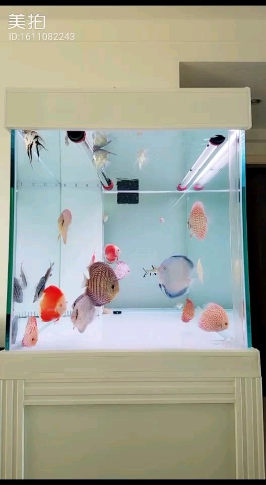 【西安苏门答腊虎】七彩TV神仙鱼 西安观赏鱼信息