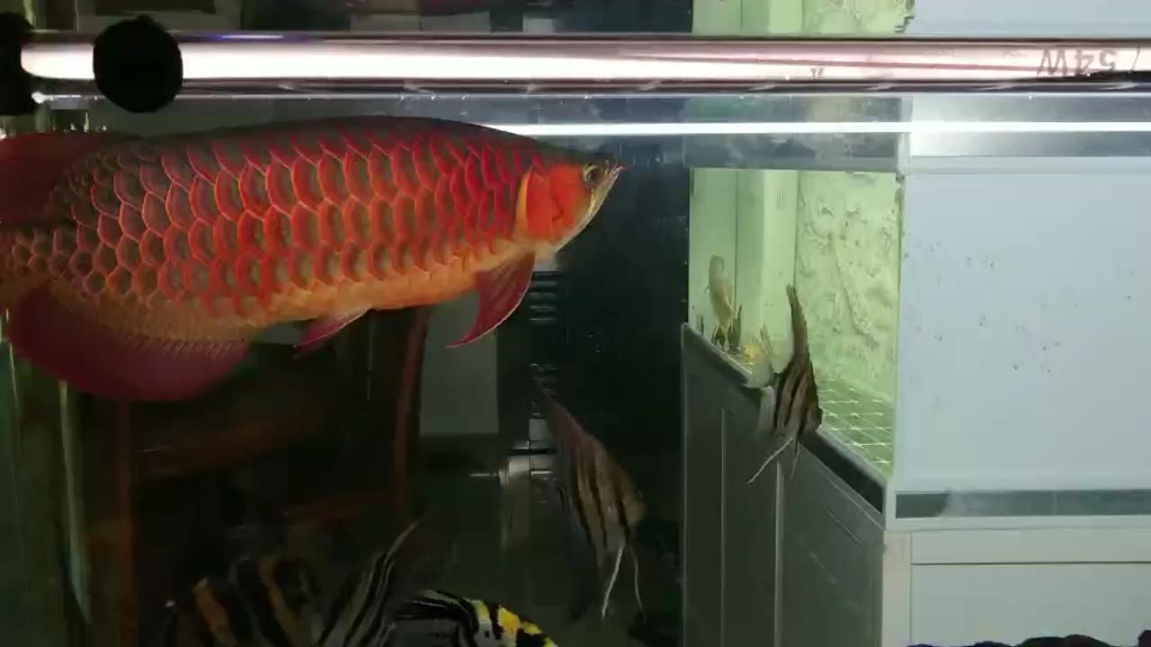 听说三无要被查抓紧出手有感兴趣的吗? 西安观赏鱼信息 西安博特第1张