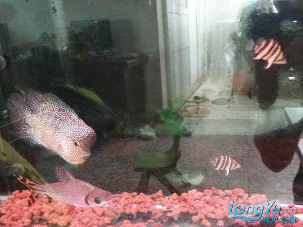 与罗共舞 尽显虎鱼本色小小四纹也疯狂 西安观赏鱼信息 西安博特第1张