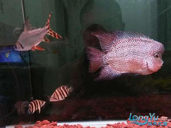 与罗共舞 尽显虎鱼本色小小四纹也疯狂 西安观赏鱼信息 西安博特第5张