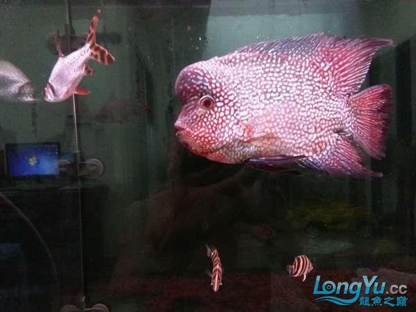 与罗共舞 尽显虎鱼本色小小四纹也疯狂 西安观赏鱼信息 西安博特第4张