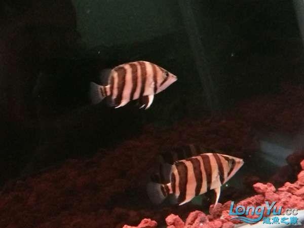 与罗共舞 尽显虎鱼本色小小四纹也疯狂 西安观赏鱼信息 西安博特第6张