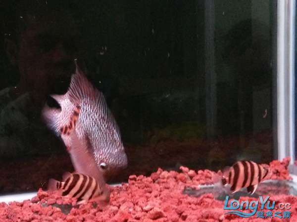 与罗共舞 尽显虎鱼本色小小四纹也疯狂 西安观赏鱼信息 西安博特第7张