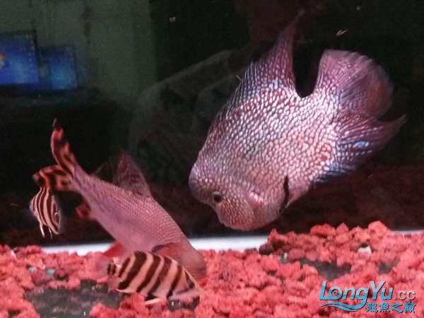 与罗共舞 尽显虎鱼本色小小四纹也疯狂 西安观赏鱼信息 西安博特第8张
