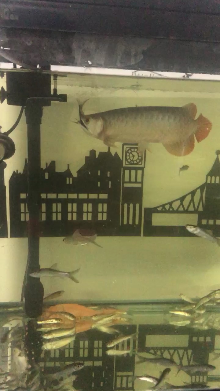 这货只吃活食冷冻虾吃了就吐 西安观赏鱼信息