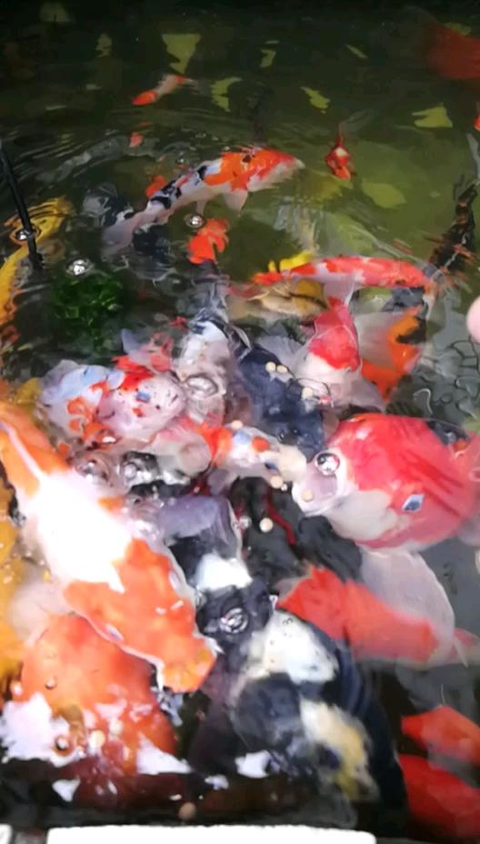 打算减密了锦鲤 西安观赏鱼信息