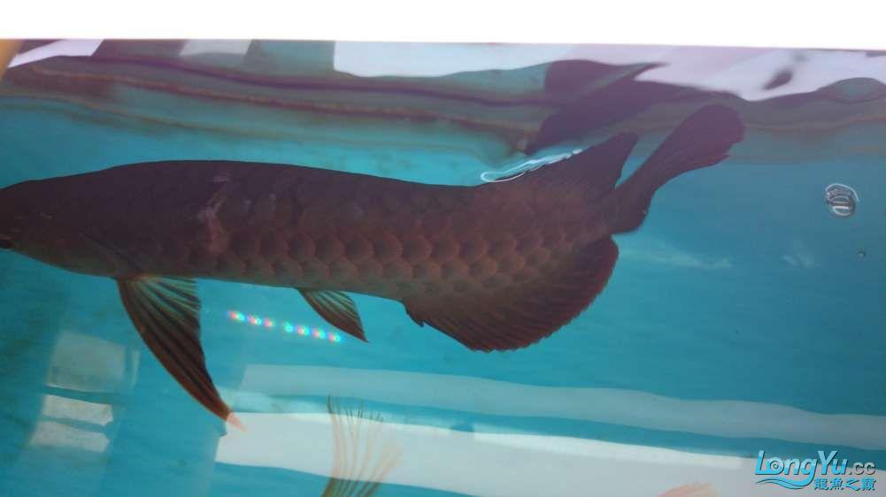 高分悬赏龙鱼鳞片烂了怎么办? 西安观赏鱼信息 西安博特第1张