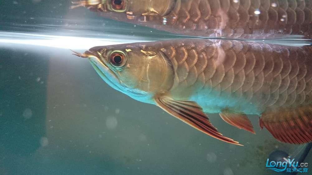 高分悬赏龙鱼鳞片烂了怎么办? 西安观赏鱼信息 西安博特第2张