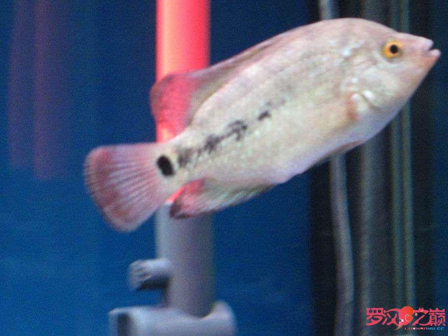金花的胆子怎么这么小 西安观赏鱼信息 西安博特第3张