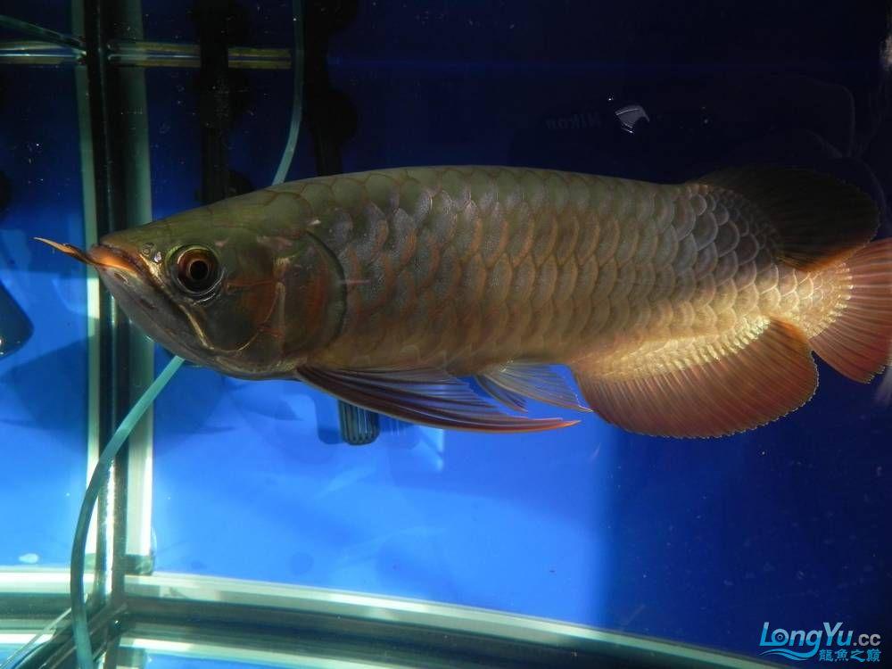 大家帮忙看看这龙算是绿皮吗?自然光下和红灯下 西安观赏鱼信息 西安博特第2张