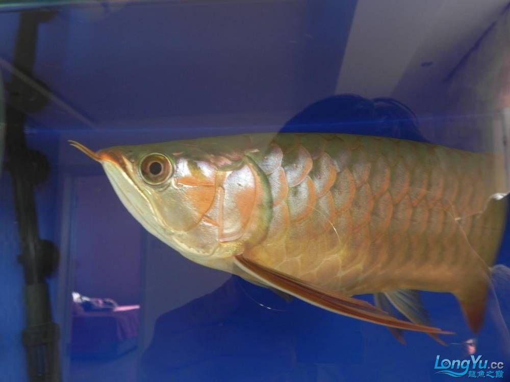 大家帮忙看看这龙算是绿皮吗?自然光下和红灯下 西安观赏鱼信息 西安博特第3张