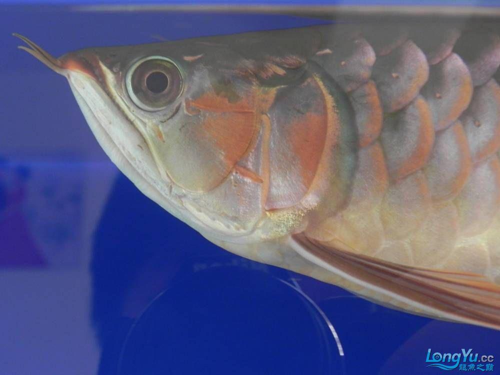 大家帮忙看看这龙算是绿皮吗?自然光下和红灯下 西安观赏鱼信息 西安博特第4张