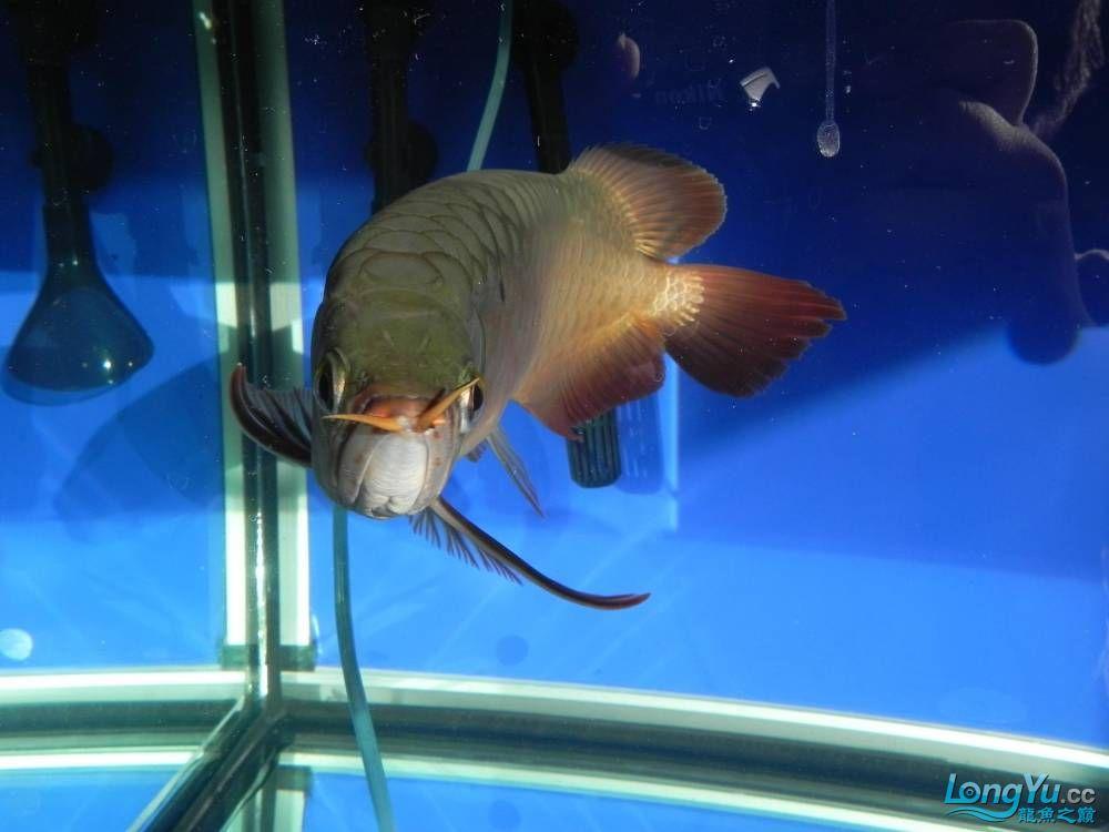 大家帮忙看看这龙算是绿皮吗?自然光下和红灯下 西安观赏鱼信息 西安博特第5张