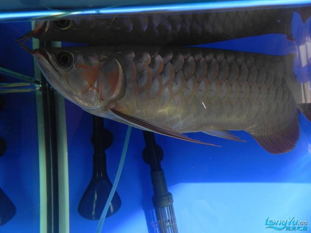 大家帮忙看看这龙算是绿皮吗?自然光下和红灯下 西安观赏鱼信息 西安博特第6张