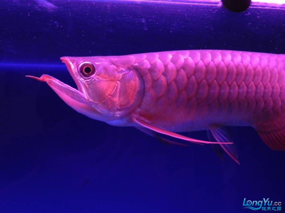 大家帮忙看看这龙算是绿皮吗?自然光下和红灯下 西安观赏鱼信息 西安博特第9张